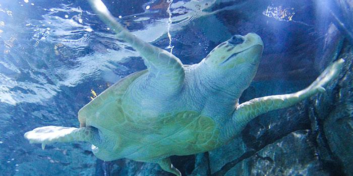 Sea turtle at Shedd Aquarium Chicago
